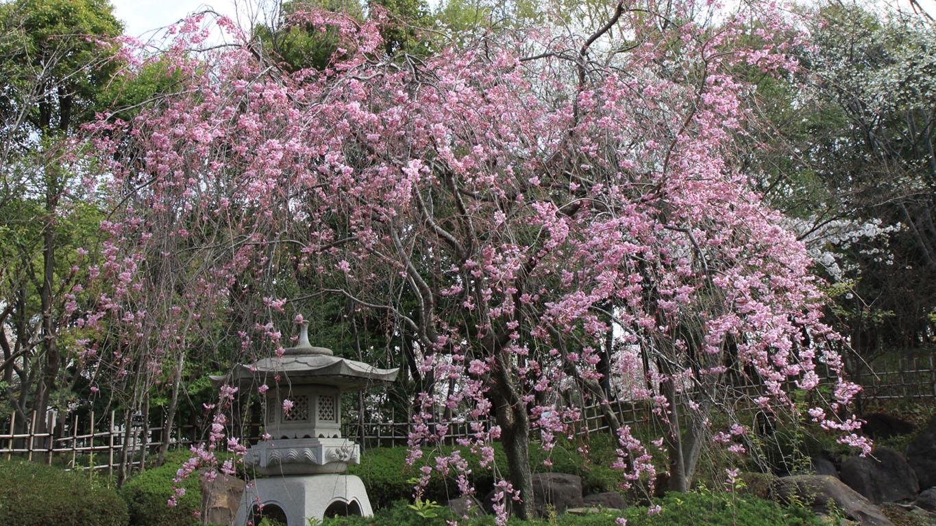 sakura no jardim japonês; jardim japones